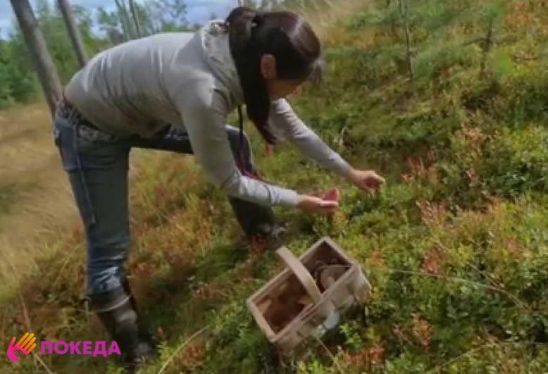 Работа сбор ягод в Финляндии