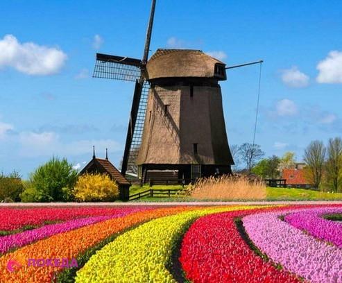 Голландия цветы