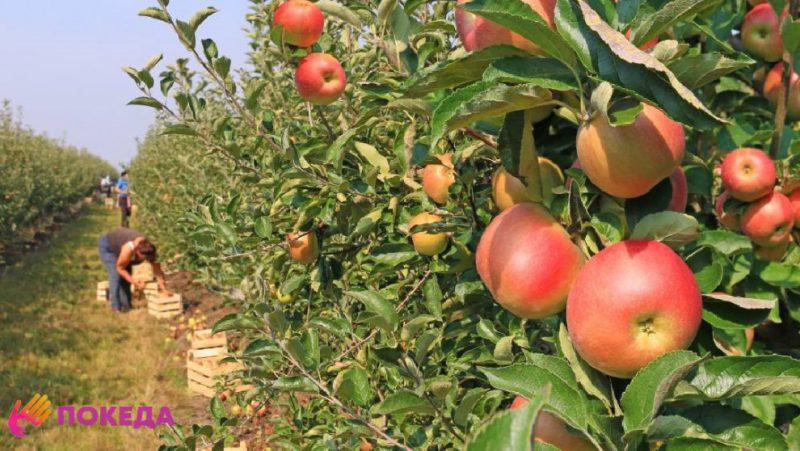 Сбор яблок в Люксембурге