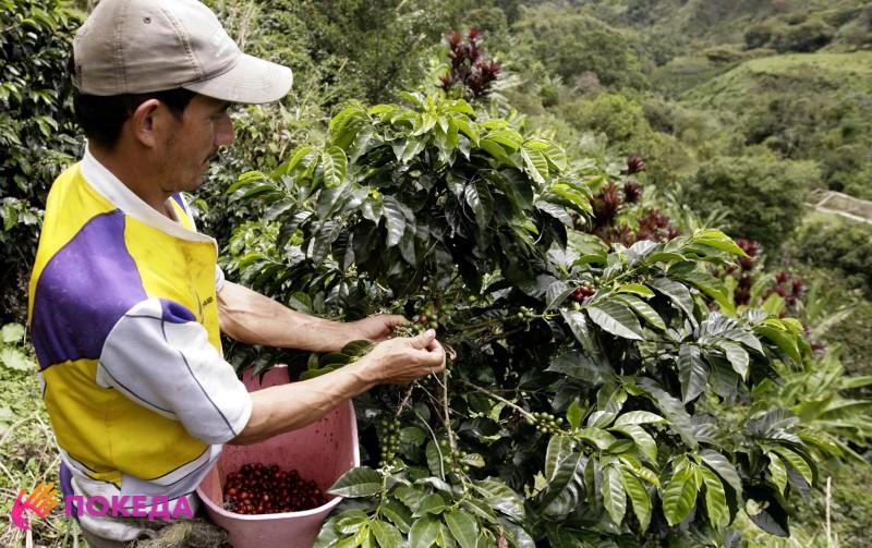 Сбор кофе в Колумбии